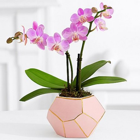 Pink Mni Orchid