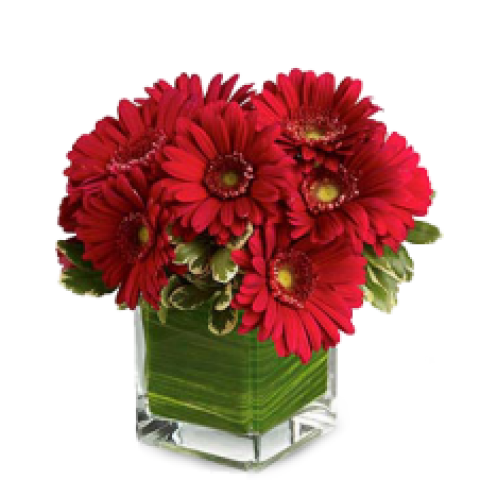 Red Passion Gerberas