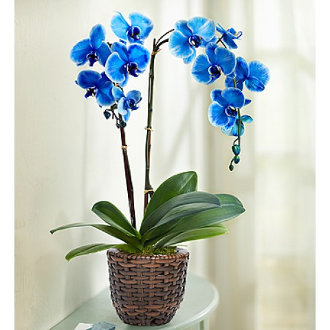 Exotic Blue Orchid