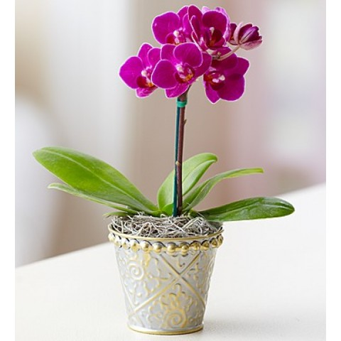 Mini purple Orchid