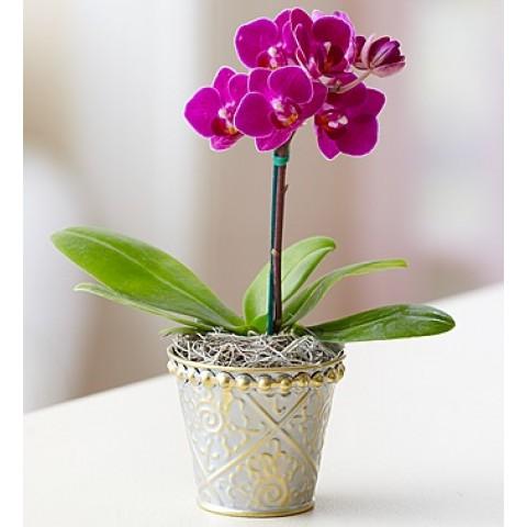 Mini purple Orchid
