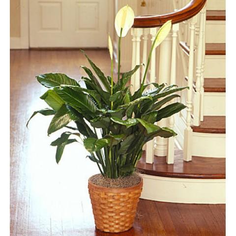 Spathipyllum Plant